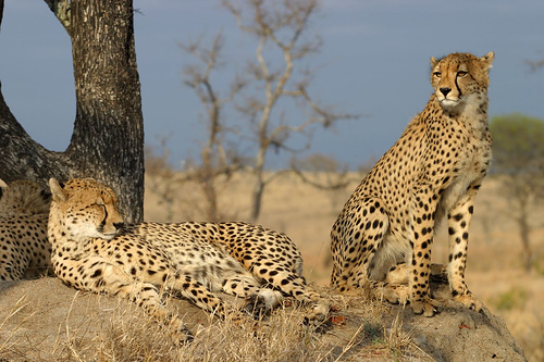 cheetah-africa-by-james-temple-creative-commons